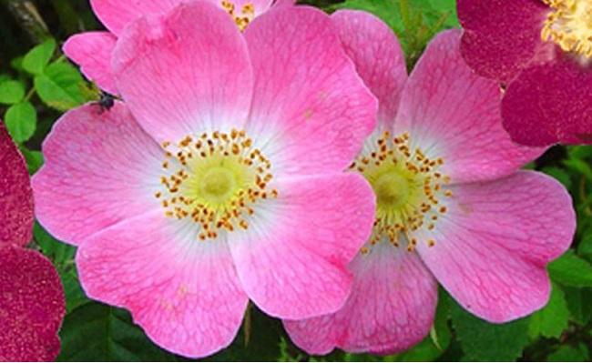 Flor Rosa de mosqueta