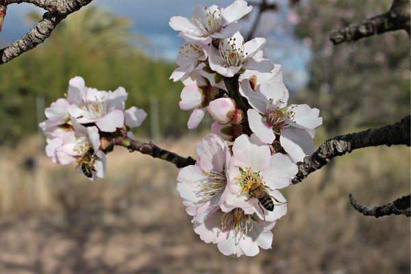 La miel de flor de almendro y sus 3 poderosos beneficios